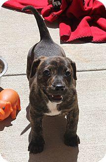 Dachshund Mix Puppy for adoption in Ridgecrest, California - Madrid