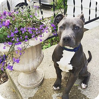 American Staffordshire Terrier/American Pit Bull Terrier Mix Puppy for adoption in Warrenville, Illinois - Major