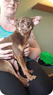 Chihuahua Mix Dog for adoption in Regina, Saskatchewan - Buddy the Chi