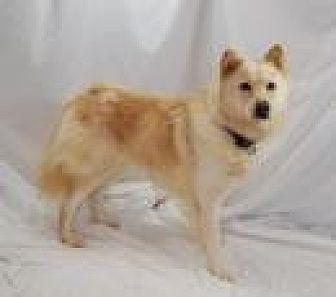 Golden Retriever/Chow Chow Mix Dog for adoption in Jackson, Mississippi - Liz
