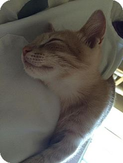 Domestic Shorthair Kitten for adoption in Alamo, California - Marty
