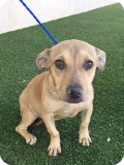 Dachshund Mix Puppy for adoption in Las Vegas, Nevada - Willow