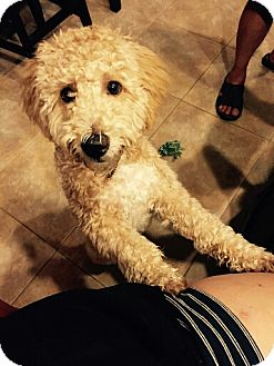 Poodle (Miniature)/Old English Sheepdog Mix Puppy for adoption in Goodyear, Arizona - Ginger
