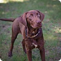 Adopt A Pet :: Hershel - Lewisville, IN
