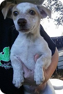 Australian Cattle Dog Mix Puppy for adoption in Gainesville, Florida - Mickey