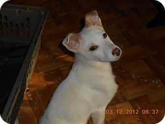 German Shepherd Dog/Australian Shepherd Mix Puppy for adoption in Conway, Arkansas - Balto