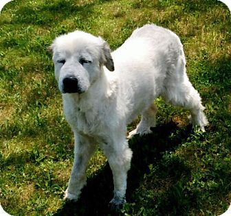 Great Pyrenees Dog for adoption in Pittsburgh, Pennsylvania - Molly