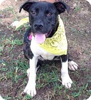 Labrador Retriever Mix Puppy for adoption in Darlington, South Carolina - Ophelia