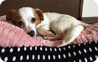 Jack Russell Terrier/Chihuahua Mix Dog for adoption in Arlington, Virginia - Renata