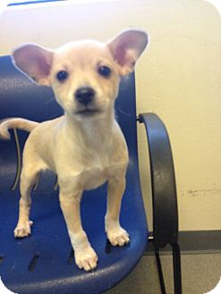 Chihuahua/Dachshund Mix Puppy for adoption in Phoenix, Arizona - Snickerdoodle