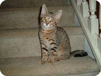 Domestic Shorthair Kitten for adoption in Walnutport, Pennsylvania - Dash