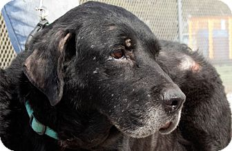 Labrador Retriever Dog for adoption in San Antonio, Texas - Maggie