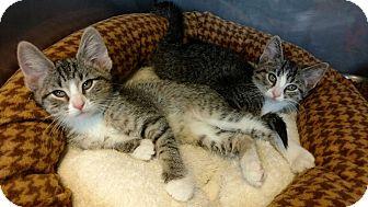 Domestic Shorthair Kitten for adoption in Brookings, South Dakota - Hayden