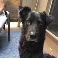 Adopt A Pet :: Sherlock - Mansfield, TX
