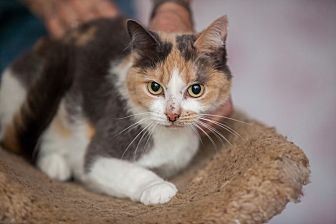 Domestic Shorthair Cat for adoption in Statesville, North Carolina - Calypso