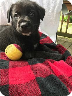 German Shepherd Dog Mix Puppy for adoption in Portland, Maine - Forest