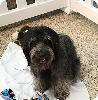 Havanese Mix Dog for adoption in Thousand Oaks, California - Desi
