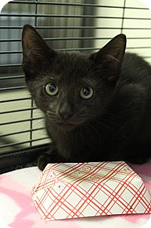 Domestic Shorthair Kitten for adoption in Sarasota, Florida - Voltaire