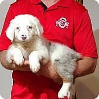 Adopt A Pet :: Marley - Gahanna, OH