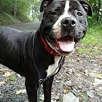 Adopt A Pet :: Slade - Pottsville, PA