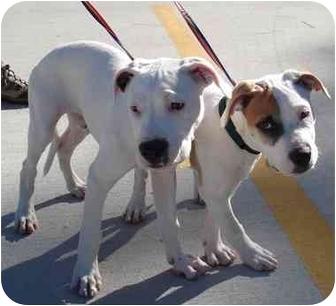 American Bulldog Mix Puppy for adoption in Kingwood, Texas - Baby Boy