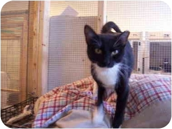 Domestic Shorthair Cat for adoption in Jersey City, New Jersey - Gidget