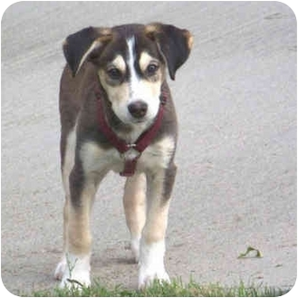 Siberian Husky Mix Puppy for adoption in Falls City, Nebraska - Bella