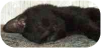 Domestic Shorthair Kitten for adoption in Tampa, Florida - Loki