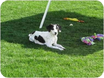 Pointer/Jack Russell Terrier Mix Dog for adoption in Scottsdale, Arizona - MARTINA