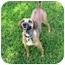 Photo 2 - Jack Russell Terrier/Beagle Mix Dog for adoption in Sugar Land, Texas - Cassie