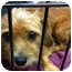 Photo 4 - Norfolk Terrier Mix Dog for adoption in Houston, Texas - Jax