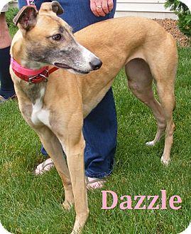 Greyhound Dog for adoption in Fremont, Ohio - Dazzle