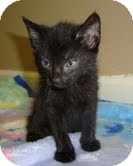 Domestic Shorthair Kitten for adoption in Portland, Maine - Toodles