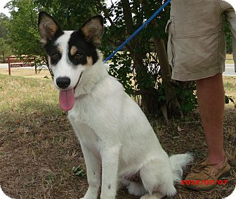 Shepherd (Unknown Type) Mix Dog for adoption in Cranford, New Jersey - Deacon