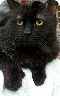 Domestic Longhair Cat for adoption in E. Wareham, Massachusetts - Prince Lap Master
