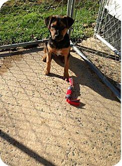 Beagle/German Shepherd Dog Mix Puppy for adoption in Albemarle, North Carolina - Murray