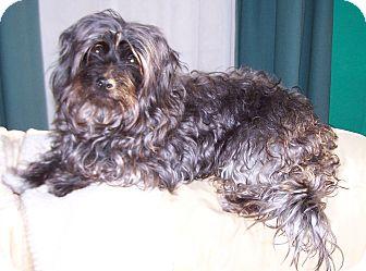 Poodle (Miniature)/Shih Tzu Mix Dog for adoption in Greensboro, Georgia - Dolly Madison