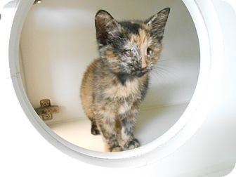 Domestic Shorthair Kitten for adoption in Maywood, New Jersey - Peep