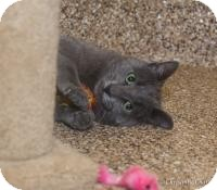 Russian Blue Cat for adoption in Sierra Vista, Arizona - Ted