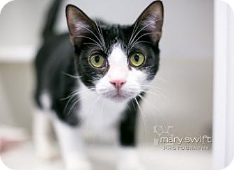 Domestic Shorthair Cat for adoption in Reisterstown, Maryland - Oscar Mayer
