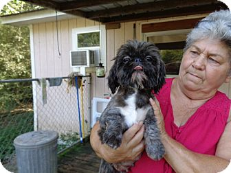 Shih Tzu Dog for adoption in Crump, Tennessee - Christy
