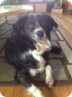 Border Collie Dog for adoption in WAterford, Wisconsin - Tucker-Adoption Pending