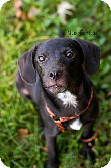 Labrador Retriever Mix Dog for adoption in Cherry Hill, New Jersey - Parker
