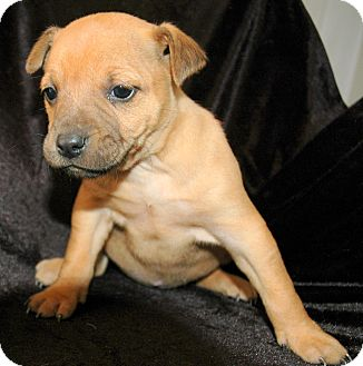 Boxer Mix Puppy for adoption in Spring City, Pennsylvania - Cherry