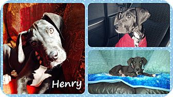 Great Dane Puppy for adoption in DOVER, Ohio - Henry