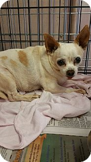 Chihuahua Dog for adoption in Hurst, Texas - Tic