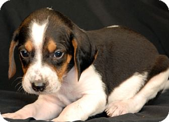 Hound (Unknown Type) Mix Puppy for adoption in Newland, North Carolina - Mahi