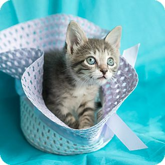 Domestic Shorthair Kitten for adoption in Houston, Texas - Morgan