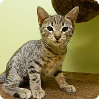 Adopt A Pet :: Campari - The Colony, TX