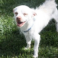 Adopt A Pet :: Captain - Henderson, NV